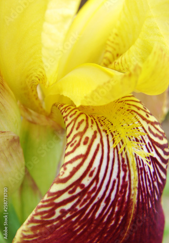 Fragment of yellow-red iris flower - 258778700