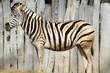 Zebra - animals/wildlife
