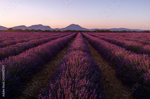 Lavender field and mountains
