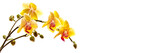Yellow phalaenosis orchid stem isolated on panoramic white background