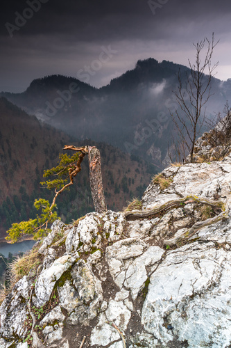 Pieniny mountains in Poland, Sokolica. Curved pine tree on rock hill.
