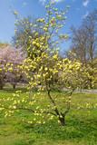 Gelbe Magnolie in der Lichtenhofer Allee, Baden-Baden