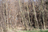 Birch flowers on twigs with forest in background.