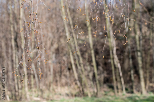 Birch flowers on twigs with forest in background. - 258939768