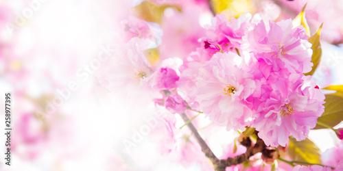 cherry blossom branch, spring bloom