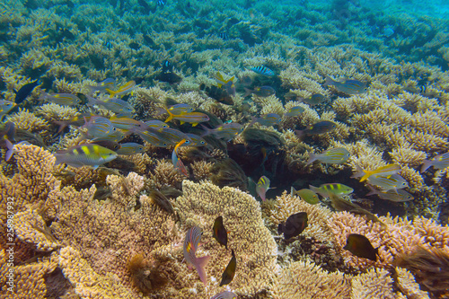 fototapeta na ścianę Big school of bright yellowfin goatfishes swimming through deep blue sea near coral reef area at Mauritius island