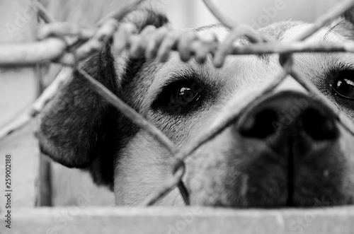 fototapeta na ścianę Homeless sad dog is waiting for a house in an animal shelter behind the fence. Black and white.