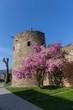 canvas print picture - blühender Kirschbaum an der Stadtmauer von Ahrweiler