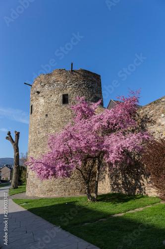 canvas print picture blühender Kirschbaum an der Stadtmauer von Ahrweiler