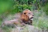 African lion in Orpen region of Kruger national park in South Africa