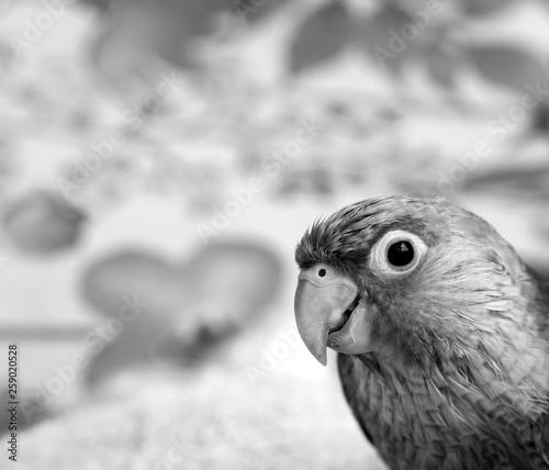 Conure parrot monochrome image © simond750
