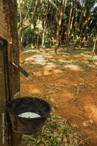 rubber tree , rubber plantation . Beautiful trees line by rubber tree © meen_na