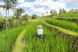 Quadro Female farmer working in beautiful Jatiluwih rice terrace plantations on Bali, Indonesia, south east Asia.