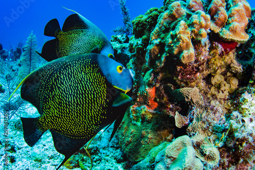 fototapeta na ścianę Pair of French Angelfish feeding on the coral reef