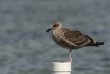 A sigle seagull at the Conceicao Lagoon, in Florianopolis, Brazil.