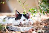 Close up of black and white cat with yellow eyes lay down on the ground in the garden