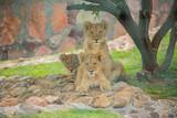 lions zoo3