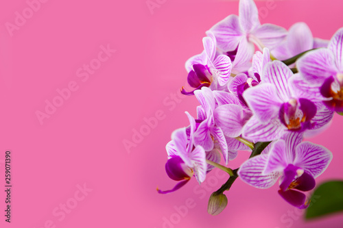 Beautiful pink orchid closeup. - 259071390