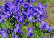 Blühende Veilchen, Viola, auf der Wiese