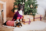 New Year and Christmas dogs. Border Collie dog and Shetland sheepdog at home.