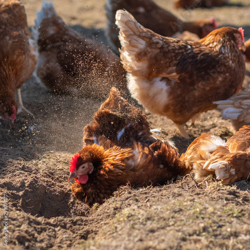 Leinwandbild Motiv Hühner-Glück: Geflügel beim Sandbaden in artgerechter Haltung