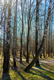 Early spring. Birch trees in a sunny spring park against the blue sky. Spring Russian landscape