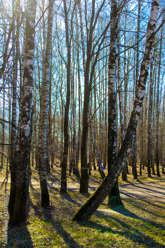 Early spring. Birch trees in a sunny spring park against the blue sky. Spring Russian landscape - 259106921