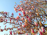 Young magnolia blossoms on a tree in spring