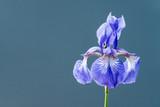 Isolated Iris on Blue Background