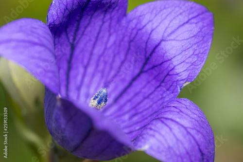 blue ballon flower close up with detail of pistil - 259133509