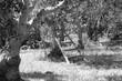 Scala appoggiata su un ulivo - 259133963
