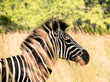 Profile of a zebra at the national parc Pilanesberg in South Africa