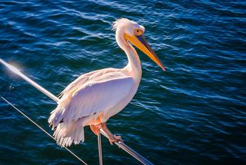 Pelican in the Atlantic Ocean near Walvis Bay, Namibia, Africa