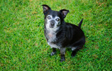 Senior Black Chihuahua dog with a lot of grey, sitting on green grass
