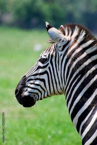 Plains Zebra in Profile - 259203146