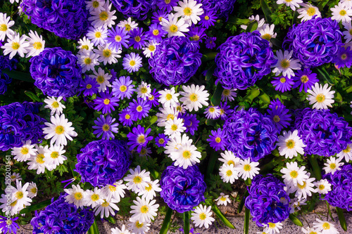 Beautiful spring blue flowers - 259203561