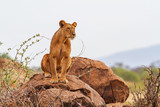 Lioness sitting on rock looking to right