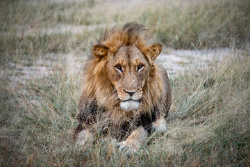 Young Male Lion Stares On The Savannah