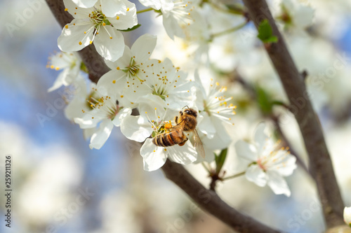 Honey bee in spring on sloe blossoms - 259211326