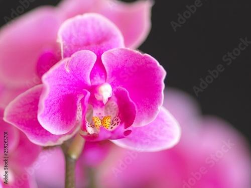 美しく咲き誇る洋ラン - 259263701