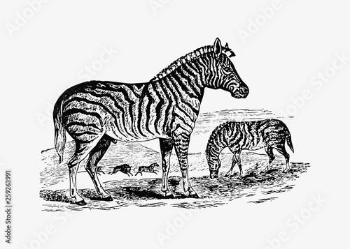 Zebra shade drawing - 259263991