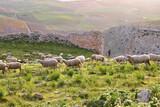 Fototapeta Fototapety na sufit - Wypas owiec Andaluzja Hiszpania w Teba © Baśka