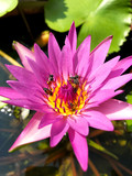 pink lotus insect bee