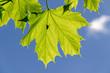 canvas print picture - Silhouette einer Fliege auf grünem Ahornblatt vor blauem Himmel