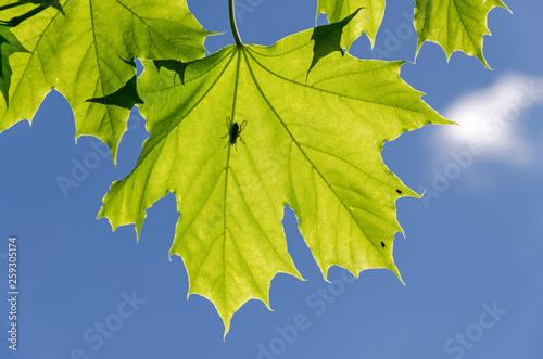 canvas print picture Silhouette einer Fliege auf grünem Ahornblatt vor blauem Himmel