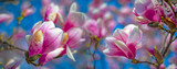 pink magnolia flowers on a flowering magnolia tree