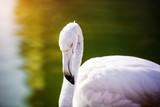 Flamingo in the lake