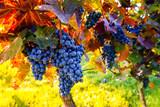 Weinstock zur Weinlese im Herbst