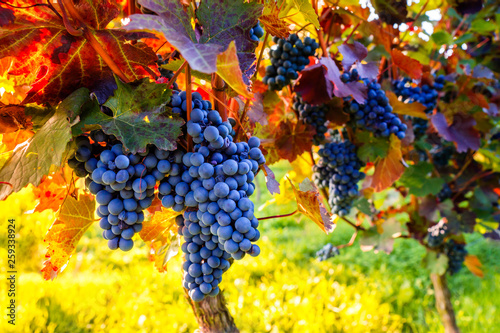 Leinwanddruck Bild Weinstock zur Weinlese im Herbst