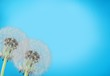 Close up of grown dandelions and dandelion seeds isolated on  background - 259376532
